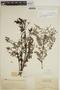 Jacaranda obtusifolia subsp. rhombifolia (G. Mey.) A. H. Gentry, BRITISH GUIANA [Guyana], J. S. de la Cruz 4393, F