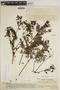 Jacaranda obtusifolia subsp. rhombifolia (G. Mey.) A. H. Gentry, VENEZUELA, Ll. Williams 12507, F