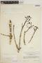 Jacaranda obtusifolia subsp. rhombifolia (G. Mey.) A. H. Gentry, BRITISH GUIANA [Guyana], R. S. Cowan 39388, F