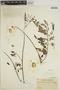 Jacaranda filicifolia D. Don, VENEZUELA, Bro. Elias 345, F