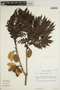 Jacaranda obtusifolia Bonpl., VENEZUELA, T. C. Plowman 13736, F