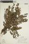 Jacaranda obtusifolia Bonpl. subsp. obtusifolia, PERU, T. B. Croat 20334, F