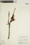 Jacaranda obtusifolia Bonpl. subsp. obtusifolia, BOLIVIA, G. T. Prance 6474, F