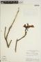 Jacaranda obtusifolia Bonpl. subsp. obtusifolia, BRAZIL, G. T. Prance 5866, F