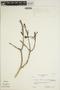 Jacaranda obtusifolia subsp. rhombifolia (G. Mey.) A. H. Gentry, VENEZUELA, L. C. M. Croizat 625, F