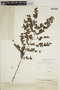 Jacaranda obtusifolia subsp. rhombifolia (G. Mey.) A. H. Gentry, VENEZUELA, Ll. Williams 11496, F