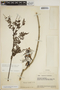 Jacaranda obtusifolia subsp. rhombifolia (G. Mey.) A. H. Gentry, VENEZUELA, J. A. Steyermark 61085, F