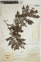 Jacaranda obtusifolia subsp. rhombifolia (G. Mey.) A. H. Gentry, H. H. Rusby 132, F