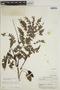 Jacaranda obtusifolia subsp. rhombifolia (G. Mey.) A. H. Gentry, BRITISH GUIANA [Guyana], A. C. Smith 3341, F