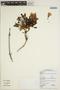 Jacaranda obtusifolia subsp. rhombifolia (G. Mey.) A. H. Gentry, BRITISH GUIANA [Guyana], M. J. Jansen-Jacobs 2462, F