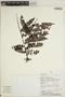 Jacaranda obtusifolia Bonpl. subsp. obtusifolia, PERU, J. J. Pipoly 14339, F