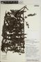 Jacaranda obtusifolia Bonpl., PERU, Rod. Vásquez 15015, F
