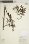 Jacaranda obtusifolia subsp. rhombifolia (G. Mey.) A. H. Gentry, BRITISH GUIANA [Guyana], J. J. Pipoly 9448, F