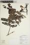 Jacaranda obtusifolia subsp. rhombifolia (G. Mey.) A. H. Gentry, BRITISH GUIANA [Guyana], M. J. Jansen-Jacobs 3357, F