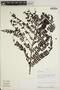 Jacaranda obtusifolia Bonpl., PERU, A. H. Gentry 42726, F