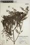 Jacaranda obtusifolia Bonpl., PERU, 37 B (P6-02), F