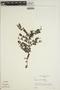 Jacaranda obtusifolia Bonpl., VENEZUELA, L. C. M. Croizat 317, F