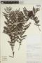 Jacaranda obtusifolia Bonpl. subsp. obtusifolia, PERU, Rod. Vásquez 10719, F