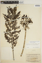 Jacaranda obtusifolia subsp. rhombifolia (G. Mey.) A. H. Gentry, SURINAME, B. Maguire 24950, F