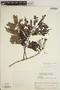 Jacaranda obtusifolia subsp. rhombifolia (G. Mey.) A. H. Gentry, VENEZUELA, L. Marcano-Berti 548, F