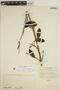 Jacaranda obtusifolia subsp. rhombifolia (G. Mey.) A. H. Gentry, VENEZUELA, E. P. Killip 37610, F