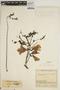 Jacaranda obtusifolia Bonpl. subsp. obtusifolia, COLOMBIA, J. Cuatrecasas 7887, F