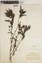 Jacaranda obtusifolia Bonpl., COLOMBIA, J. Cuatrecasas 3707, F