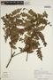 Jacaranda obtusifolia Bonpl. subsp. obtusifolia, PERU, A. H. Gentry, F