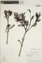 Jacaranda obtusifolia subsp. rhombifolia (G. Mey.) A. H. Gentry, BRAZIL, G. T. Prance 9237, F