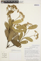 Aspidosperma nobile Müll. Arg., BRAZIL, M. Nee 34716, F