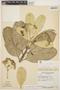 Aspidosperma nobile Müll. Arg., BRAZIL, G. T. Prance 58443, F