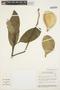 Aspidosperma nobile Müll. Arg., BRAZIL, C. A. Cid Ferreira 6118, F