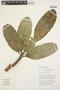 Aspidosperma nobile Müll. Arg., BOLIVIA, T. J. Killeen 1908, F