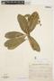 Aspidosperma nobile Müll. Arg., BRAZIL, A. P. Duarte 8182, F