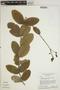 Jacaranda simplicifolia K. Schum., BRAZIL, H. S. Irwin 24020, F