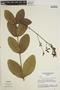 Jacaranda simplicifolia K. Schum., BRAZIL, W. R. Anderson 36641, F