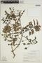 Jacaranda obtusifolia subsp. rhombifolia (G. Mey.) A. H. Gentry, SURINAME, B. Maguire 53990, F
