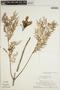 Jacaranda obtusifolia subsp. rhombifolia (G. Mey.) A. H. Gentry, SURINAME, H. S. Irwin 57534, F