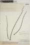 Jacaranda obtusifolia subsp. rhombifolia (G. Mey.) A. H. Gentry, VENEZUELA, Ll. Williams 11293, F