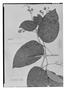 Field Museum photo negatives collection; Genève specimen of Arrabidaea sieberi A. DC., Trinidad and Tobago, F. W. Sieber 109, Holotype, G-DC