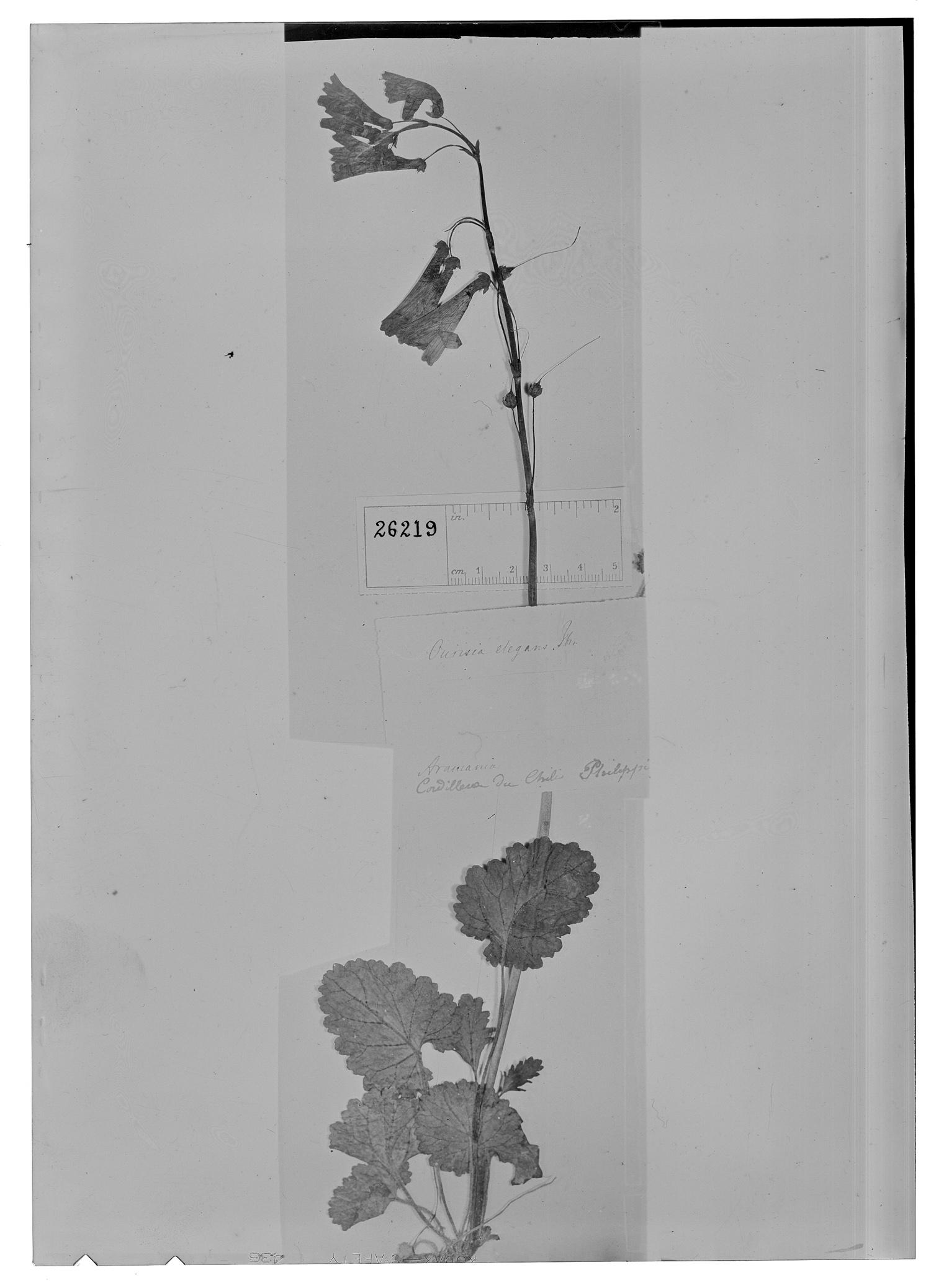 Ourisia coccinea image