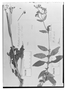 Calceolaria dentata image