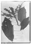 Field Museum photo negatives collection; Genève specimen of Clethra angustinensis Briq., VENEZUELA, N. Funck 163, Type [status unknown], G