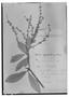 Field Museum photo negatives collection; Genève specimen of Clethra galeottiana Briq., MEXICO, H. G. Galeotti 1820, Type [status unknown], G