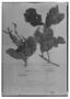 Field Museum photo negatives collection; Genève specimen of Clethra guianensis Klotzsch ex Meisn., BRITISH GUIANA [Guyana], Schomburgk 630, Type [status unknown], G