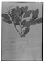 Field Museum photo negatives collection; Genève specimen of Clethra karstenii Fed., COLOMBIA, J. J. Triana, Type [status unknown], G