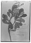 Field Museum photo negatives collection; Genève specimen of Clethra mathewsii Turcz., PERU, A. Mathews 1476, Isotype, G