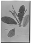 Field Museum photo negatives collection; Genève specimen of Clethra mexicana DC., MEXICO, Mairet, Type [status unknown], G