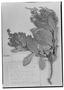 Field Museum photo negatives collection; Genève specimen of Clethra punctata Turcz., COLOMBIA, J. J. Linden 1321, Type [status unknown], G