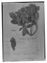 Field Museum photo negatives collection; Genève specimen of Clethra repanda Turcz., VENEZUELA, J. J. Linden 689, Type [status unknown], G